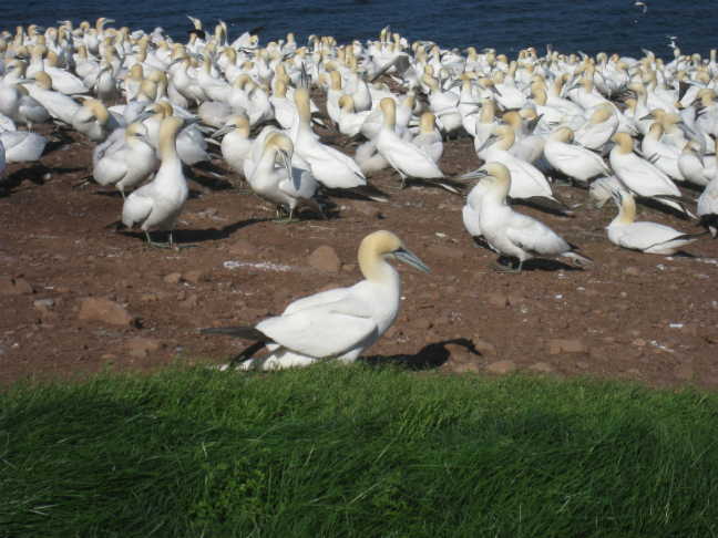 The Northern Gannet Bird Sanctuary